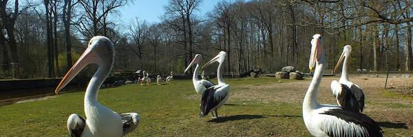 Unsere Pelikane haben ihr Winterquartier verlassen