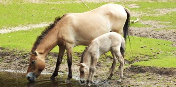 Zweifacher Nachwuchs bei den Przewalski-Pferden