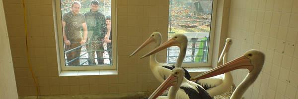 Unsere Pelikane sind im Winterquartier/Nasze pelikany są w kwaterach zimowych