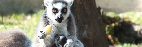 Nachwuchs bei den Kattas/Potomstwo lemurów katta