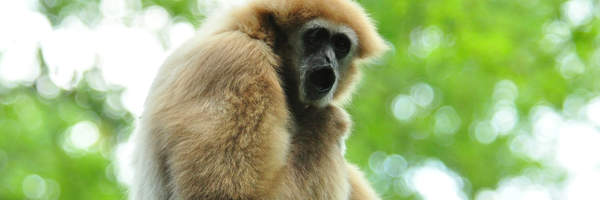 Gibbon - Zootier des Jahres 2019