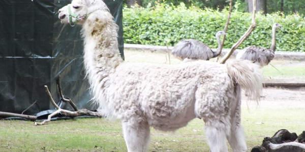 Neuer Hengst bei den Lamas