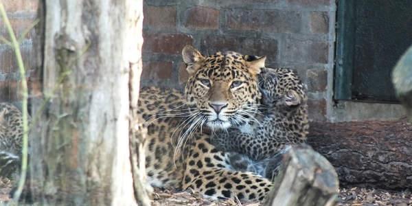 Leopardennachwuchs im Tierpark