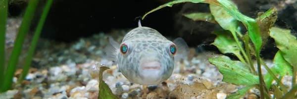 NEU im Tierpark Cottbus: Augenfleck-Süßwasserkugelfische